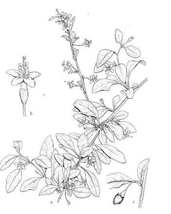 The Mystery Of Goji Berries Missouri Environment And Garden