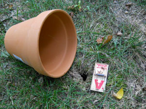 What a season for moles and voles missouri environment and garden news article integrated - Volle trap ...