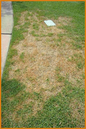 Issues With Zoysiagrass Lawns Missouri Environment And