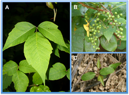 Figure 5 The Leaflets A Berries B And Newly Emerging Seedlings C Of Poison Ivy