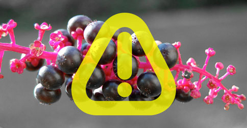 toxic berries with exclamaition point overlay