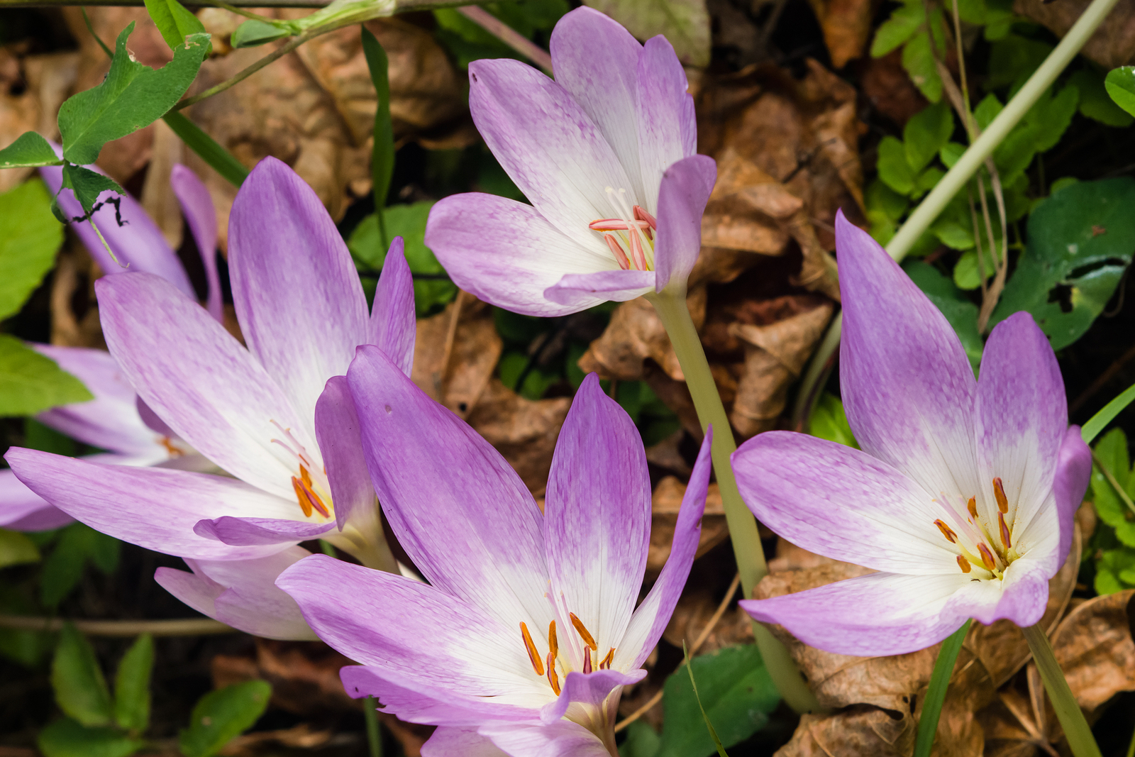 Autumn crocus a touch of spring in fall missouri environment and garden news article - Flowers that bloom from spring to fall ...