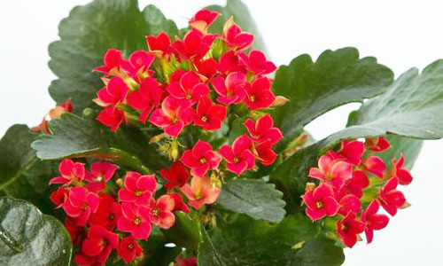 Kalanchoe: The Versatile Houseplant // Missouri Environment and ...
