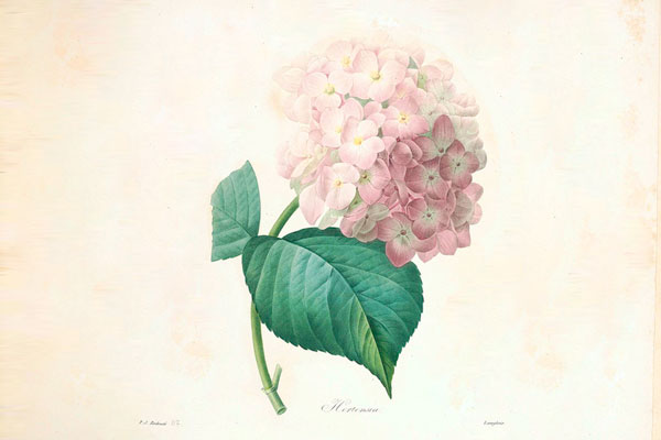 hydrangea illustration