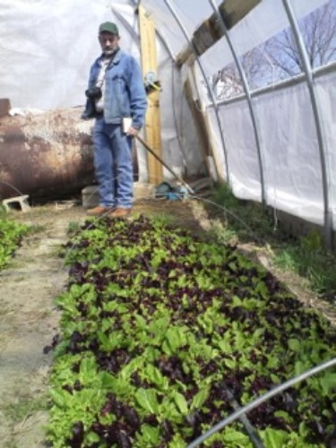 The Commercial Vege Table Program At Lincoln University Stands Behind A Bed Of Mixed Red And Green Lettuces In Clark Mo High Tunnel Early March