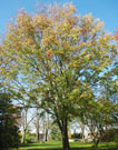 whole tree in fall, starting to lose its leaves leaves turning yellow