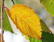 close-up of a yellow leaf in fall