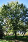 american elm whole tree with green leaves, showcasing the y-shape and arching branches