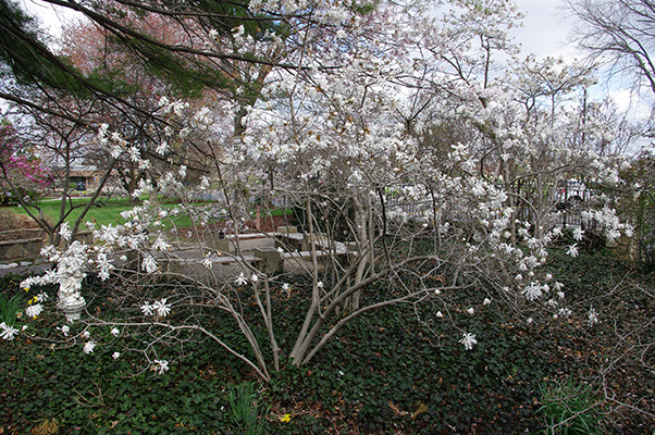 Star Magnolia Spring Waterfall Pool And Stream Garden Adventures