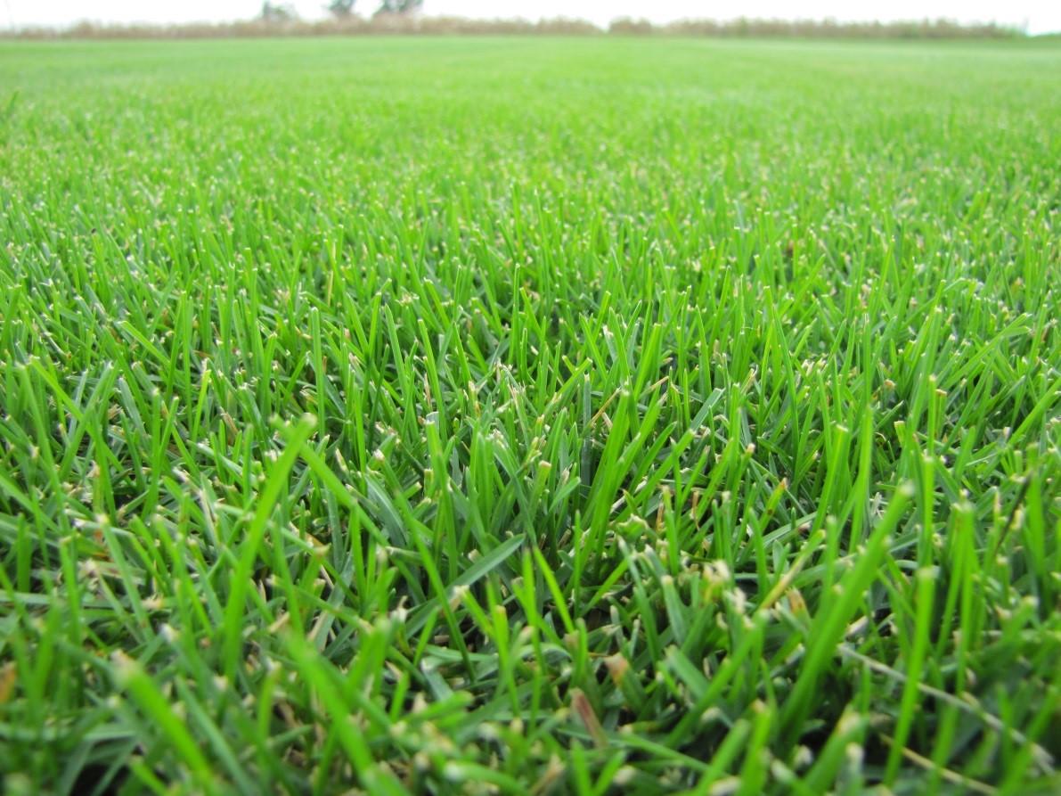 Understanding those bluegrasses missouri environment for Best grass for garden
