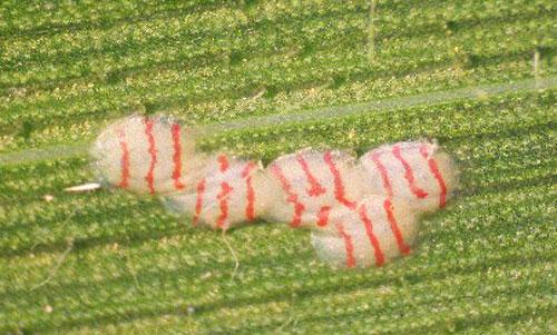 Southwestern Corn Borer Identification & Scouting // Integrated Pest